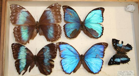 Caption: Small collection of butterflies from the Forest of the Igaraparaná, South  America, given by Sir Roger Casement to the National Museum of Ireland in 1911. NH-1911-248